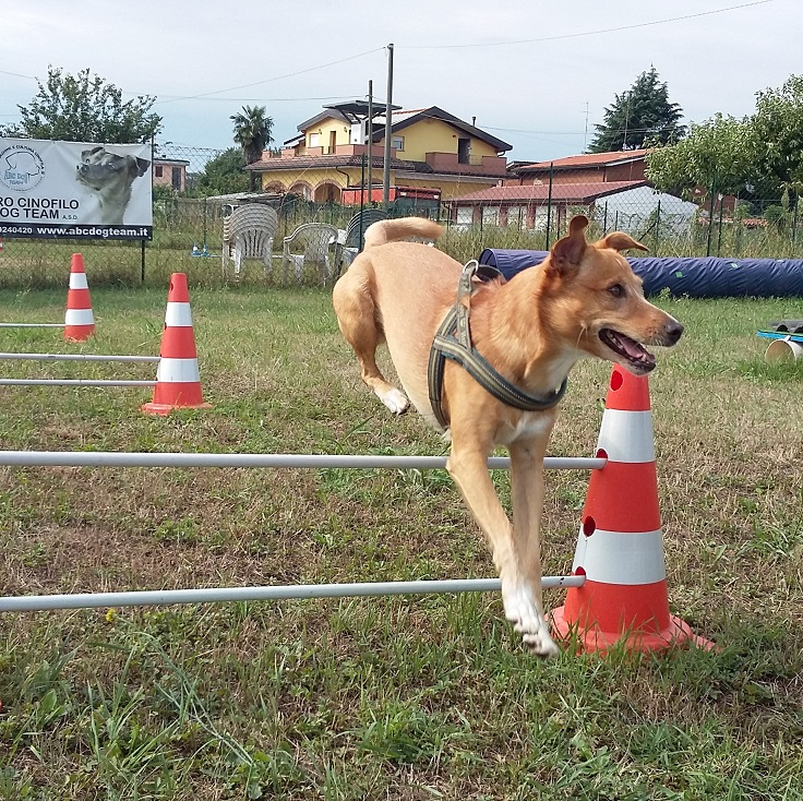 ABC DOG Mobility Dog