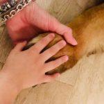 ABC Dog Team Monza Baby Culturan Dog