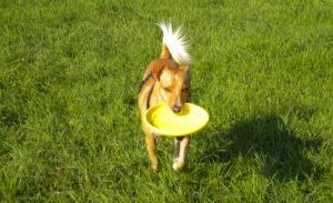 ABC Dog Team Monza Disc Dog