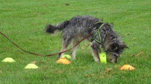 ABC DOG TEAM ASD MONZA Ricerca Olfattiva Ludica